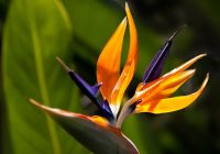 Strelitzia reginae, the bird of paradise flower. Garden dreams