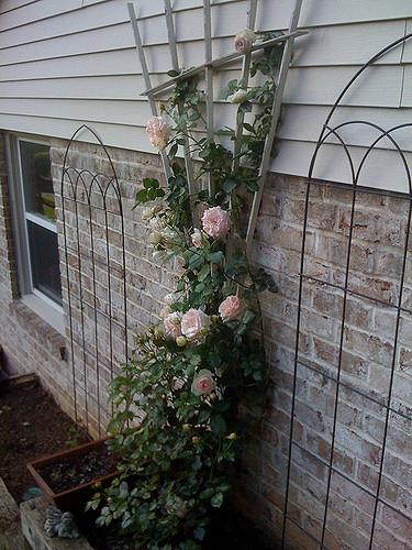 Pink rose and fan trellis. Companion plants