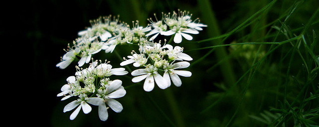 Coriander flowers and runs quickly to seed. Herbs