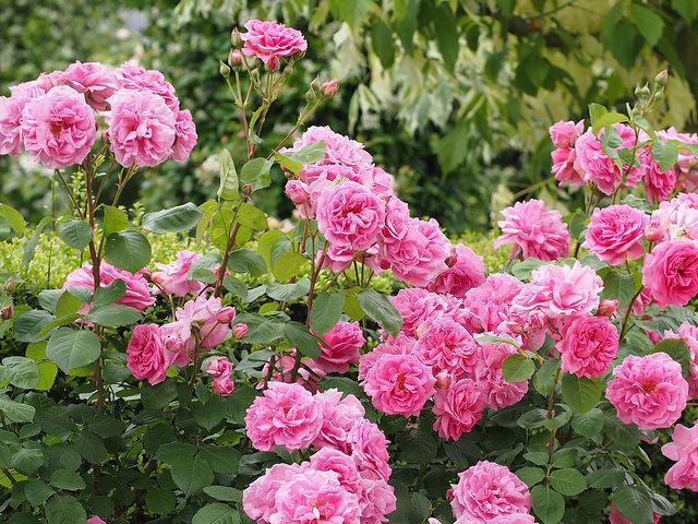 Prune shrub roses, hybrid tea roses and buddleia now