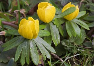Visit open gardens to see snowdrops and strikingly yellow aconites