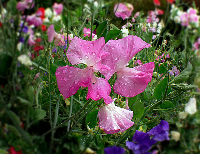 How to sow sweet peas for bunches of scented flowers in summer