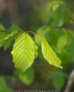 Beech trees and hedges - for every garden and every season