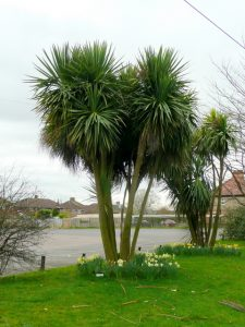 Palms are a bit exotic – where can I grow them?