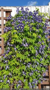 Clematis: it is easy to grow a range of these superb plants!