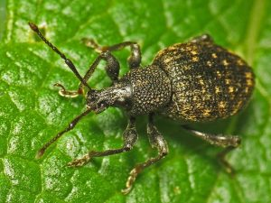 Vine weevils: act now to stop autumn damage
