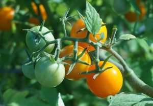 Half-term project: choose and grow tomato plants