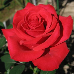 The secrets of growing the perfect red rose