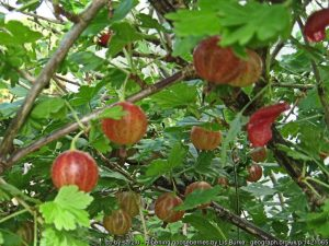 Gooseberry season is here - prepare for a crop next year