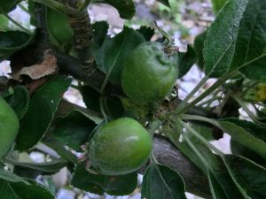 Autumn fruits: boost apple, plum and pear crops now!