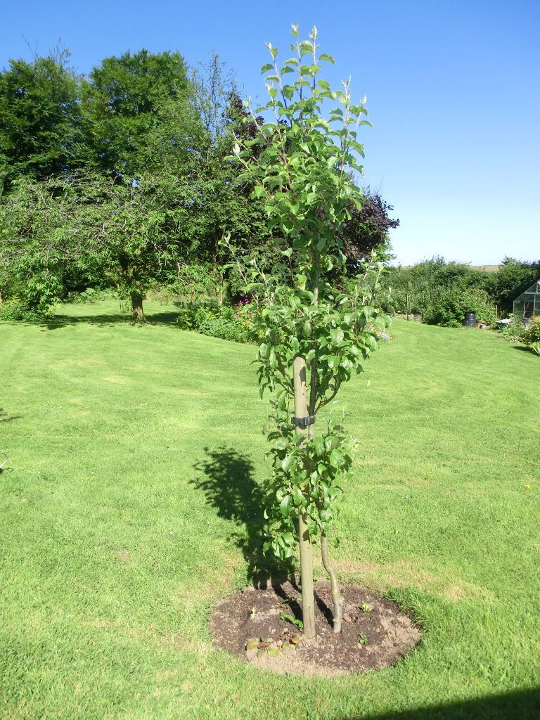 Autumn fruits boost apple plum and pear crops now - Upright trees for small spaces concept ...