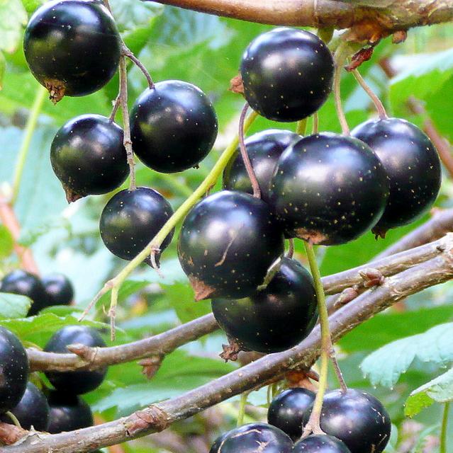 Grow blackcurrants for a bonanza of deliciousness