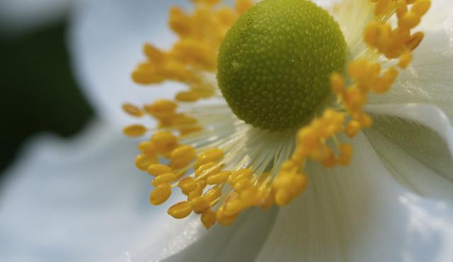 How to grow elegant Japanese anemones