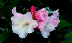 Water camellias, rhododendrons and azaleas well in dry spells
