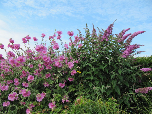 It's time to cut back tall summer-flowering shrubs