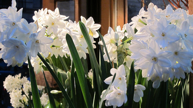 Plant paperwhite narcissi bulbs now to be in flower for Christmas