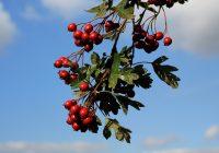 Haws or hawthorn berries. Rug