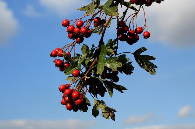 Haws or hawthorn berries