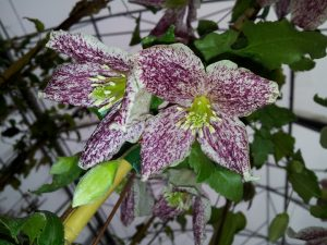 Winter flowering clematis - stars of winter gardens and patios