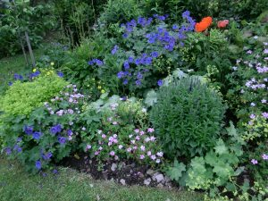 Herbaceous perennials - divide plants to boost flowers