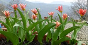 Plant tulips and hyacinths for spring colour