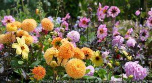 Dahlia – act now to keep them through the winter