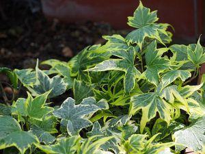 Why you should use Ivy in your garden