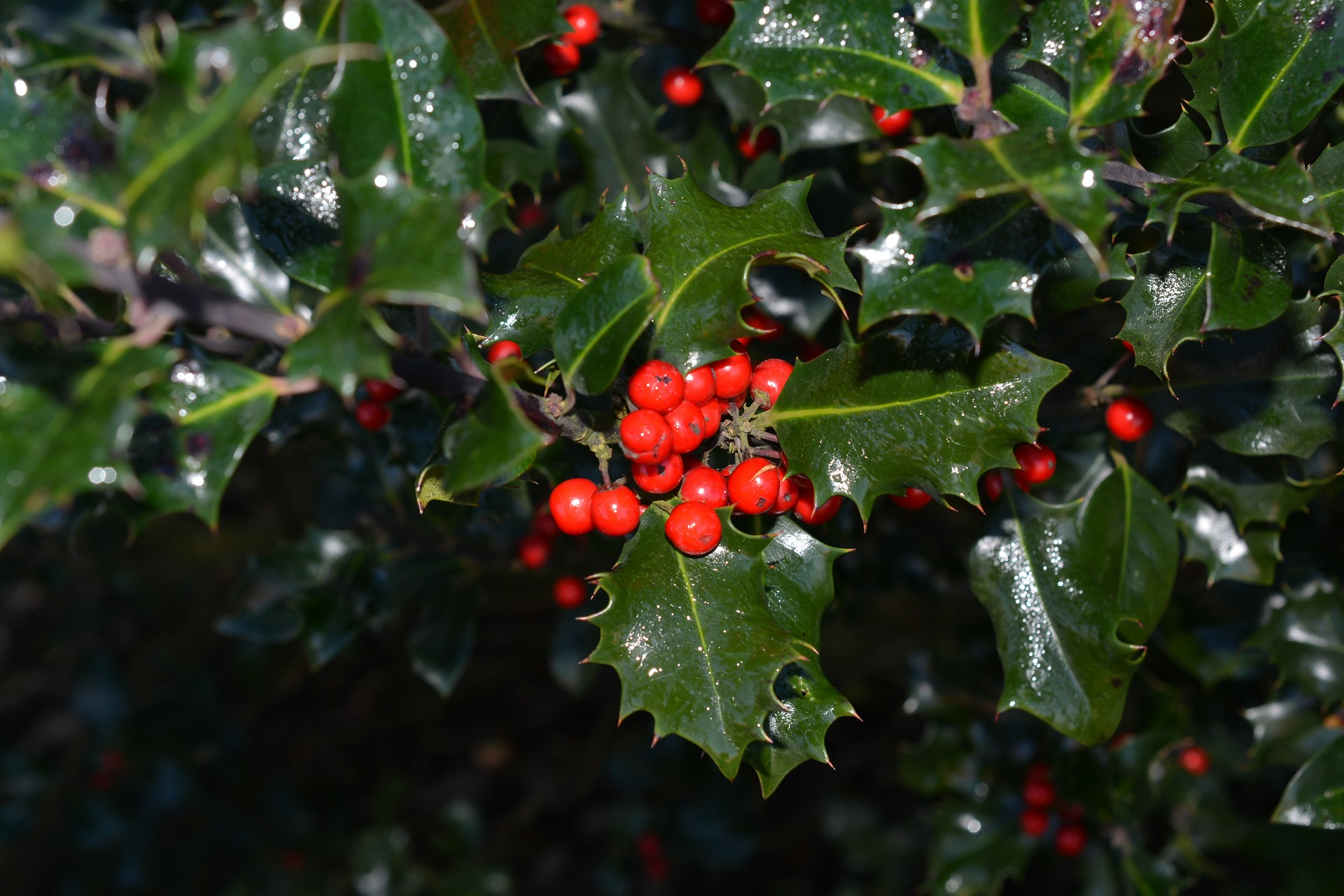 Holly The Perfect Christmas Decoration And Garden Plant