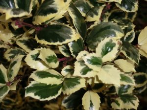 Holly - the perfect Christmas decoration and garden plant