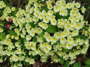Pale and interesting primroses and their primula cousins