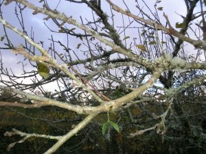 Winter prune 'standard' fruit trees: how to do it!